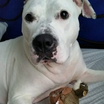 Missy~ The Dainty American Bulldog