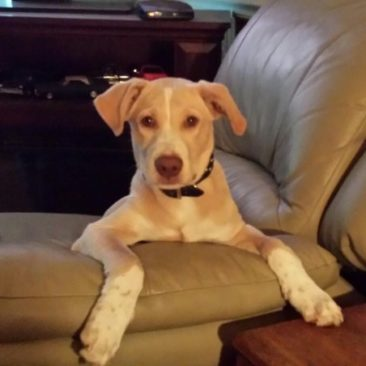 Rosco~ The Loyal Affectionate Lab Mix